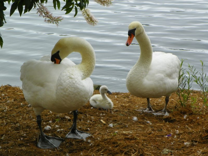 Adding Swans to Your Homestead