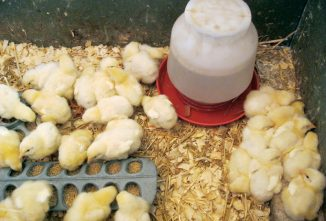 Chicken Myths, Busted