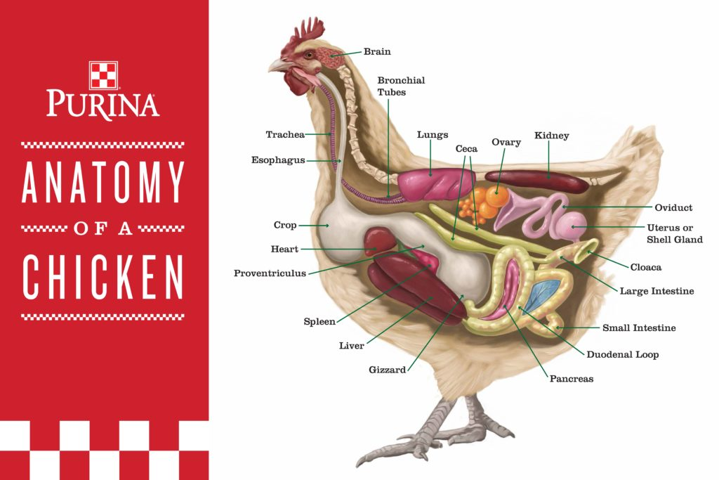 chicken-anatomy