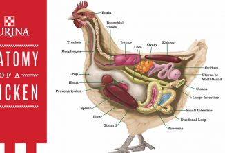 A Chicken's Digestive System: The Journey From Feed to Egg