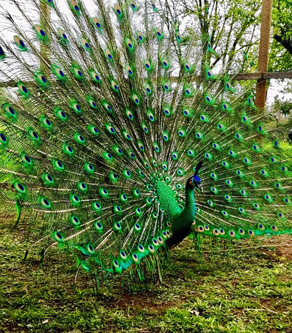Raising Peafowl in a Northern Climate – February/March 2019 Photo Essay