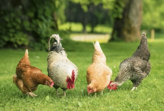 Poultry Breeds…What Are They, Anyway?