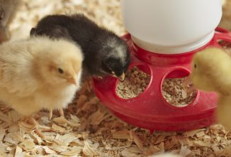 Buying Baby Chicks: Top 4 Questions to Ask