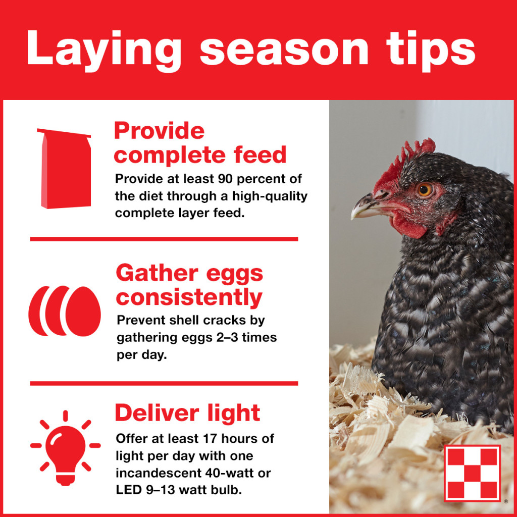 3 Tips To Help Hens Lay Eggs That Are Fresh & Healthy