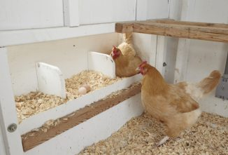 What Should Chickens Eat When They Turn 18? (Weeks Old)