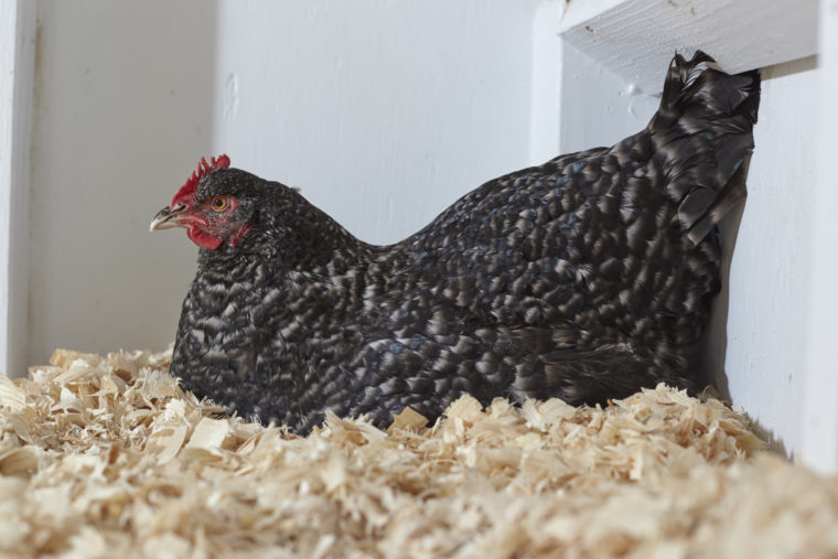 Chicken Life Cycle: 6 Milestones of Your Flock