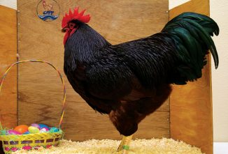 The History of Rhode Island Red Chickens