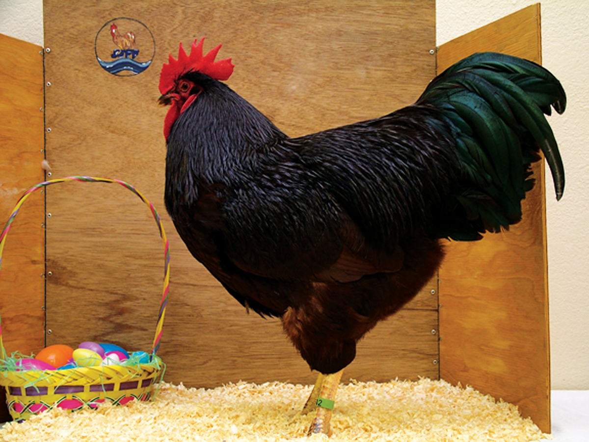 The History Of Rhode Island Red Chickens Backyard Poultry