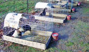 how-to-breed-chickens-hoop-pens