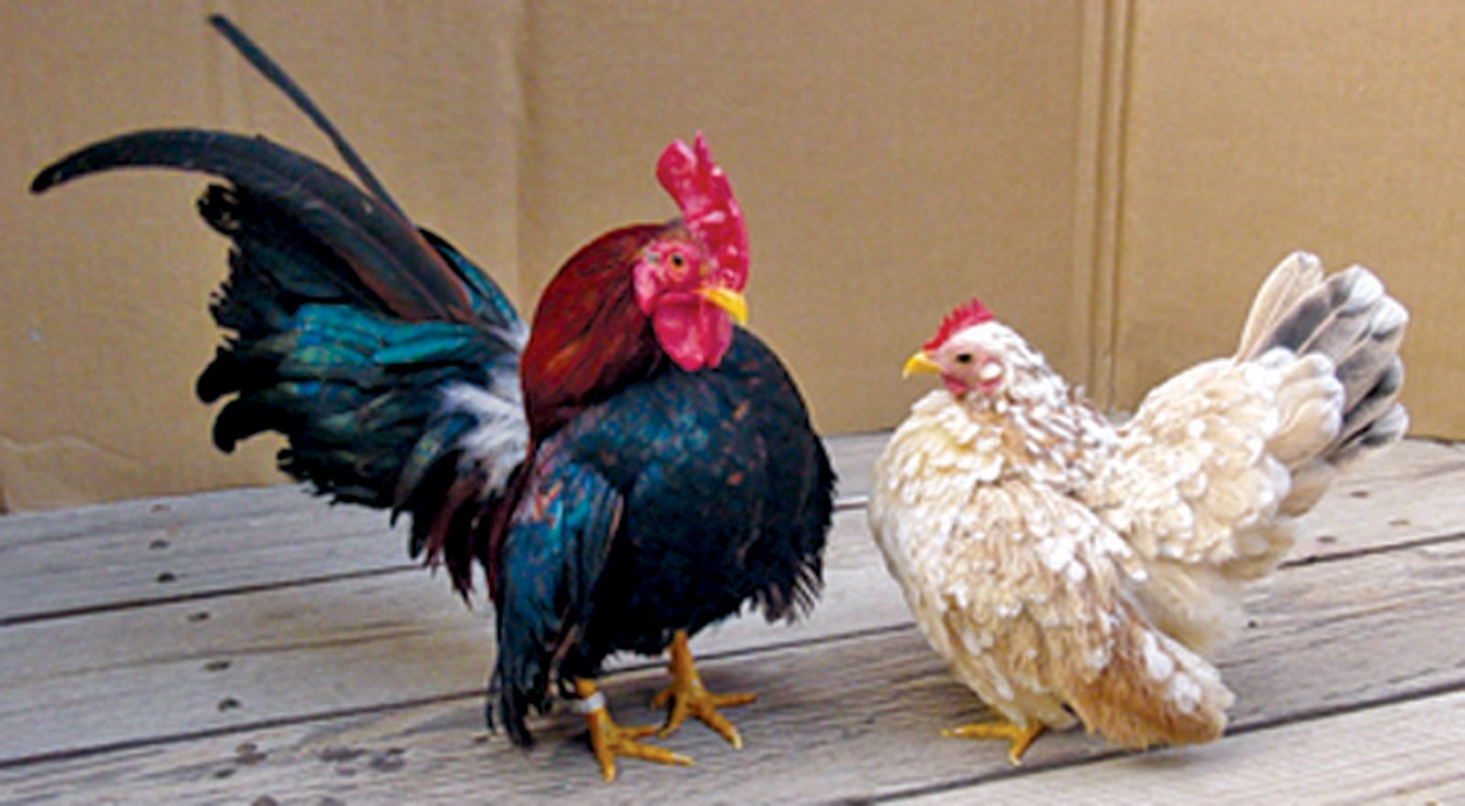 Serama Chickens: Good Things In Small Packages