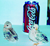 serama-chicks-soda-can