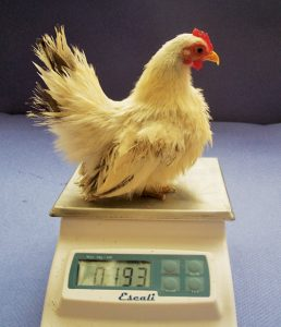 Serama-chicken-weight