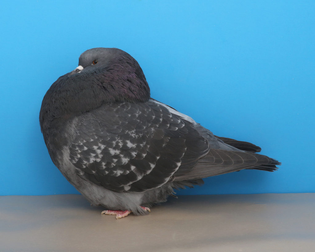 A dark check show roller pigeon. Photo by Layne Gardner.