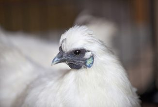 Silkie Chickens: Everything Worth Knowing