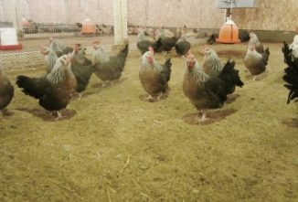 Buying Spent Stock From a Poultry Breeding Farm