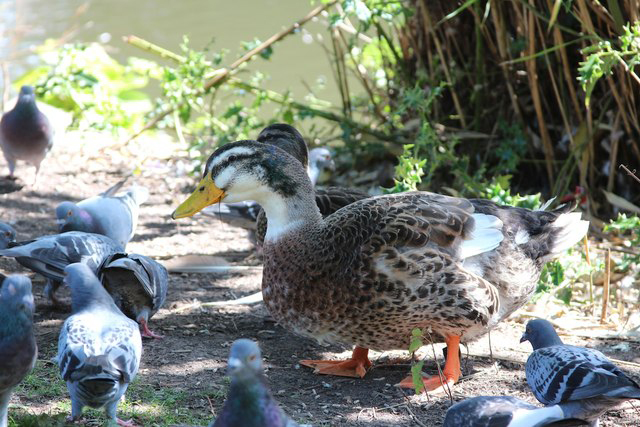 silver-appleyard-ducks