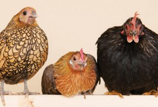 What are Bantam Chickens vs. Standard Size Chickens? - Chickens in a Minute Video