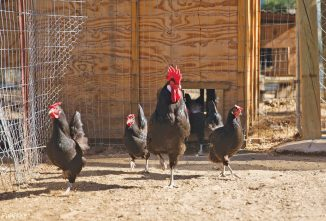 Empordanesa and Penedesenca Chickens