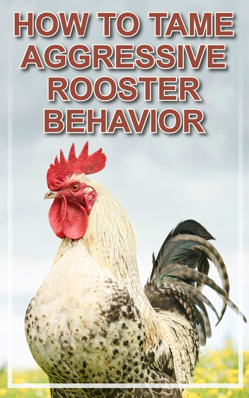 Tame Aggressive Roosters