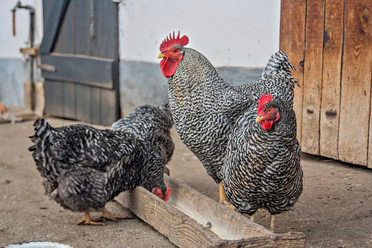 How Much Do Chickens Cost? - Backyard Poultry