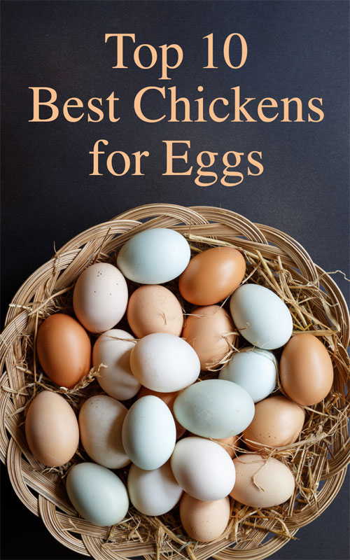 Top 10 Best Chickens for Eggs