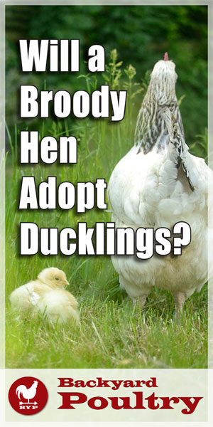 Broody Hen Adopt Ducklings