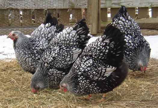 wyandotte chicken breed