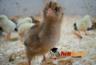 NPIP Certification: Why it Matters When Buying Chicks