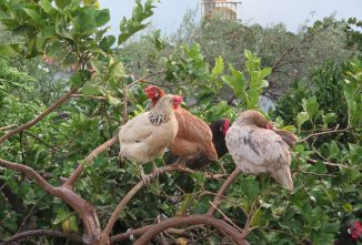 Andalusian Chickens and The Poultry Royalty of Spain