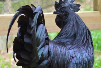 Ayam Cemani Chicken: Totally Black Inside and Out