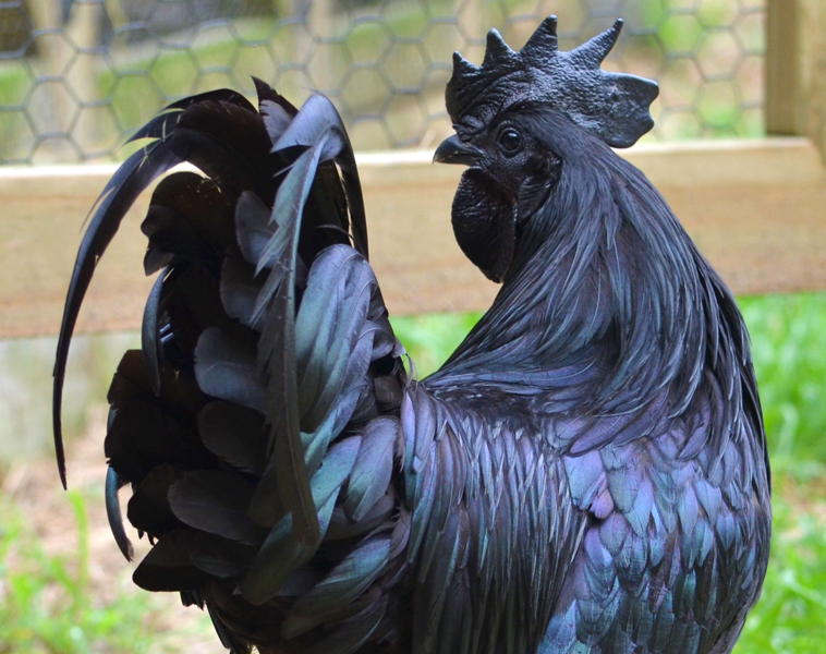 ayam-cemani-chicken