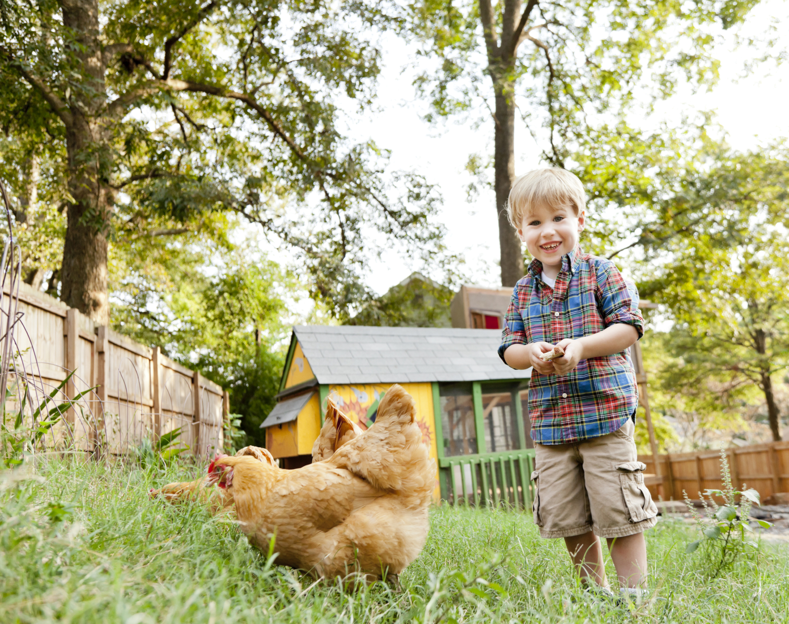 Top 10 Questions and Answers About Backyard Chickens