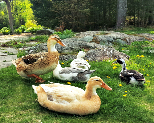 Types of Ducks For Eggs, Meat and Pest Control