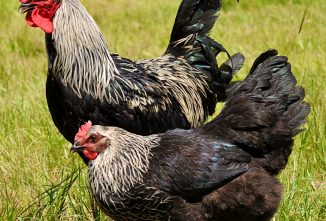 Breed Profile: Marans Chicken