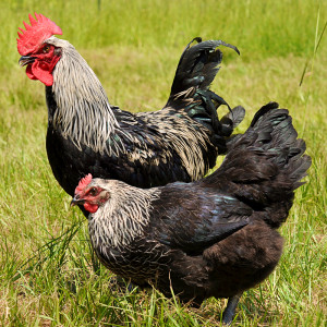 black-birchen-marans-chicken
