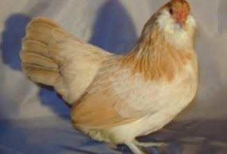 Ameraucana Chicken: August Breed of the Month