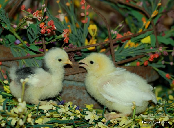 Plan Ahead for Buying Baby Chicks and Ducklings for Easter
