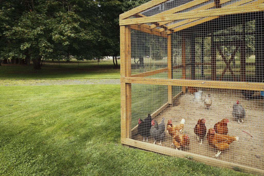 12 Tips to Help You Legalize Owning Chickens in Your ...