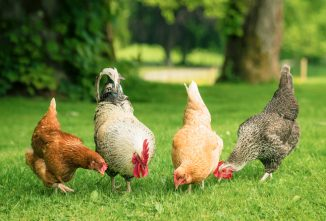 5 Summer Vacation Tips for Backyard Chicken Keepers