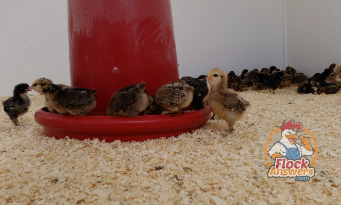 What to Feed Baby Chicks to Make Them Thrive