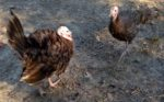 Raising Heritage Breed Chocolate Turkeys