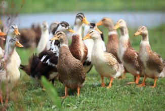 A Guide to Common Duck Diseases
