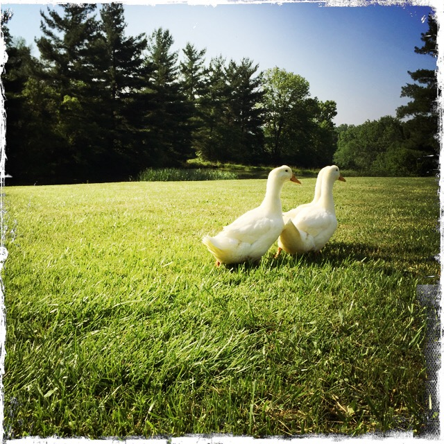 raising-pekin-ducks