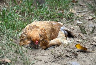 What is the Purpose of a Dust Bath for Chickens?