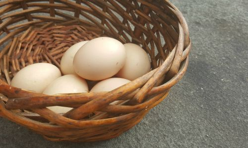 raising-chickens-for-eggs
