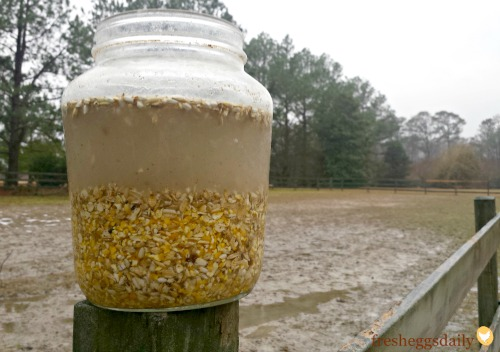 fermenting-chicken-feed