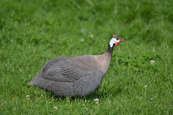 The Realities of Guinea Fowl Care