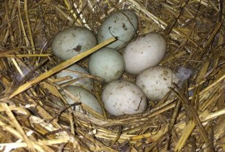 Hatching Duck Eggs: When Fertile Eggs Don't Hatch