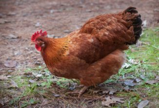 Saving Heritage Chicken Breeds