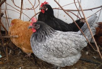 Heritage Chicken Breeds and Other Poultry